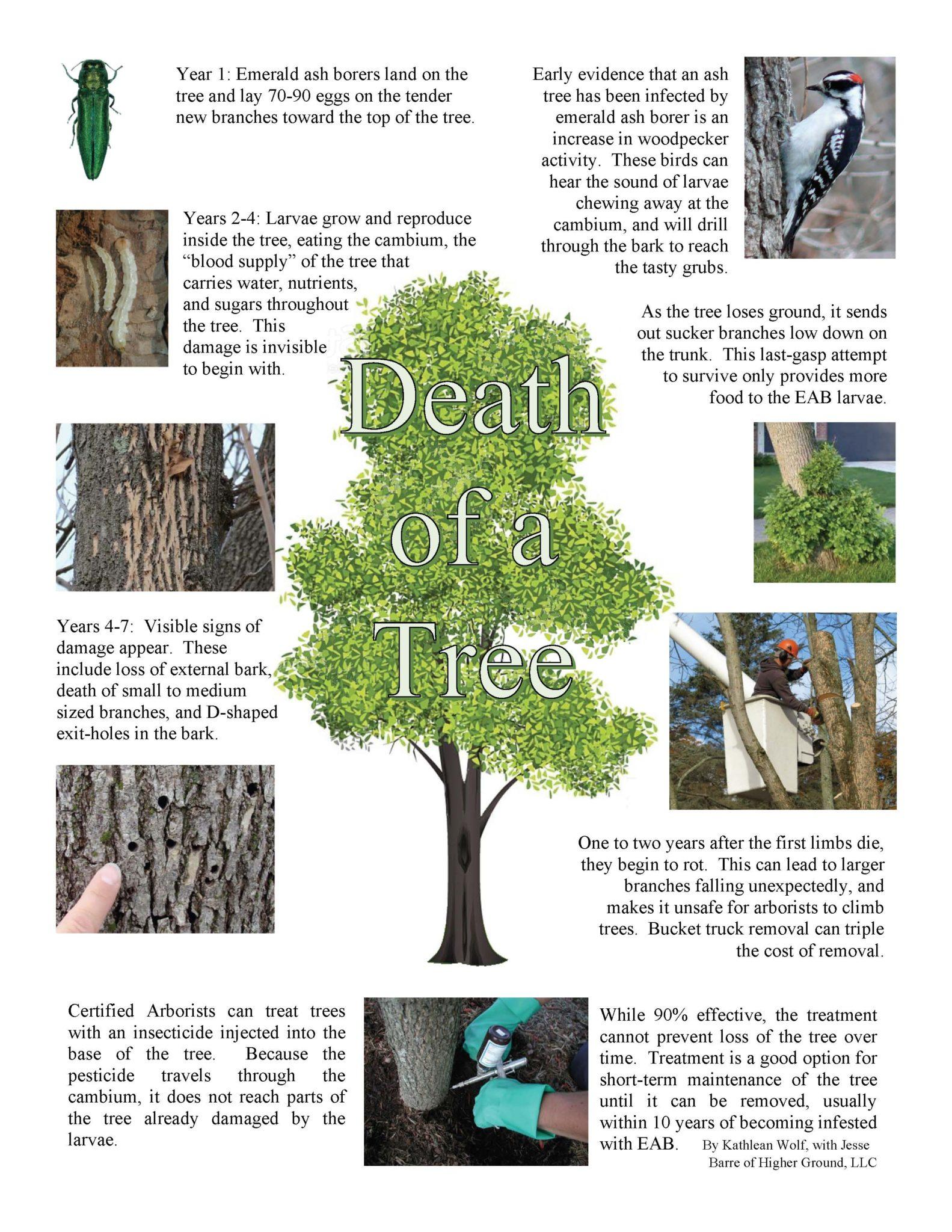 Failing ash trees threaten homes | Northside News